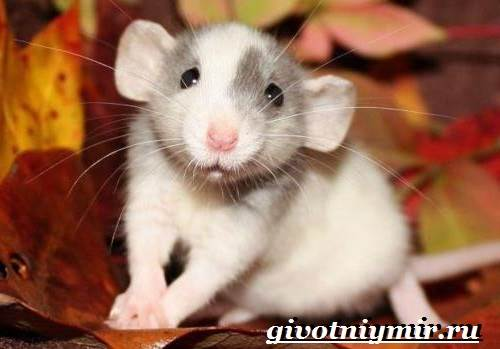 Дамбо-крыса-Образ-жизни-и-среда-обитания-крысы-дамбо-8