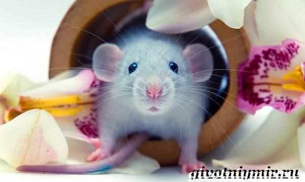 Дамбо-крыса-Образ-жизни-и-среда-обитания-крысы-дамбо-9