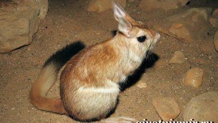 Долгоног животное. Образ жизни и среда обитания долгонога