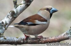 Дубонос птица. Образ жизни и среда обитания дубоноса