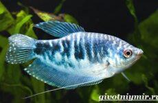 Гурами рыбка. Особенности, питание и содержание гурами в аквариуме