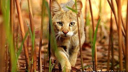 Камышовый кот. Образ жизни и среда обитания камышового кота