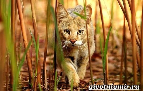 Камышовый-кот-Образ-жизни-и-среда-обитания-камышового-кота-1