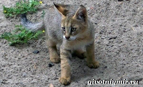Камышовый-кот-Образ-жизни-и-среда-обитания-камышового-кота-10