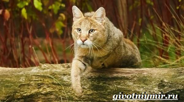 Камышовый-кот-Образ-жизни-и-среда-обитания-камышового-кота-2