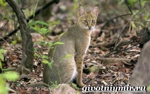 Камышовый-кот-Образ-жизни-и-среда-обитания-камышового-кота-3