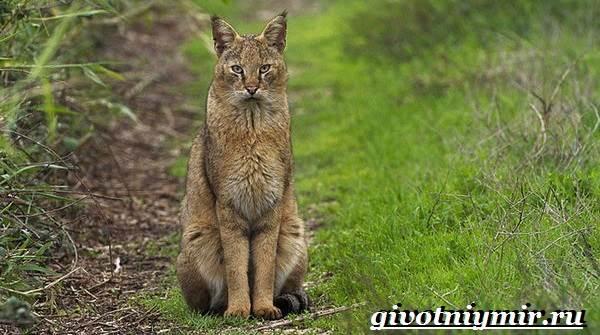 Камышовый-кот-Образ-жизни-и-среда-обитания-камышового-кота-4