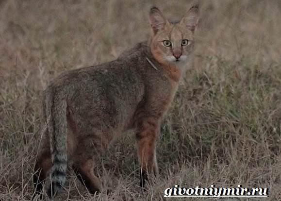 Камышовый-кот-Образ-жизни-и-среда-обитания-камышового-кота-6