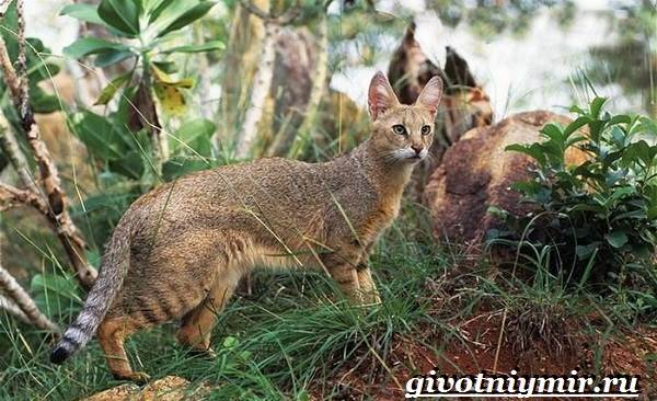 Камышовый-кот-Образ-жизни-и-среда-обитания-камышового-кота-7
