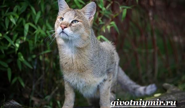 Камышовый-кот-Образ-жизни-и-среда-обитания-камышового-кота-8
