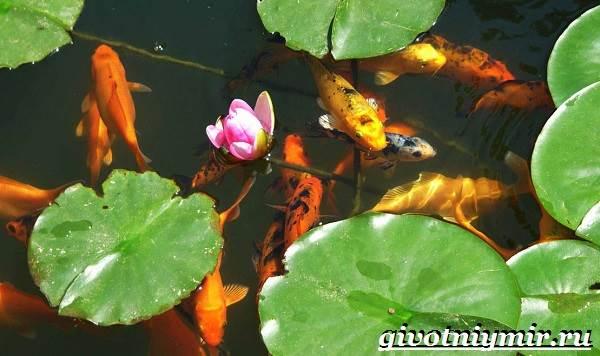 Карп-Кои-рыба-Образ-жизни-и-среда-обитания-карпа-Кои-10