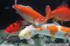 Карп Кои рыба. Образ жизни и среда обитания карпа Кои