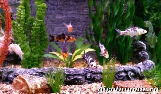 Карп-Кои-рыба-Образ-жизни-и-среда-обитания-карпа-Кои-5