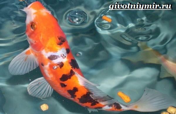 Карп-Кои-рыба-Образ-жизни-и-среда-обитания-карпа-Кои-7