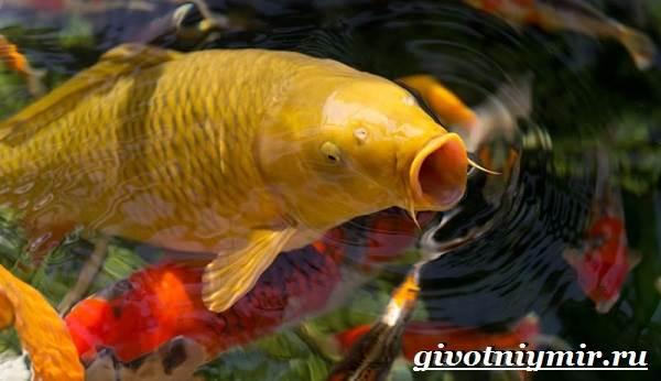 Карп-Кои-рыба-Образ-жизни-и-среда-обитания-карпа-Кои-9