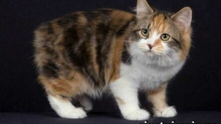 Кимрик кошка. Описание, особенности, цена и уход за породой кимрик