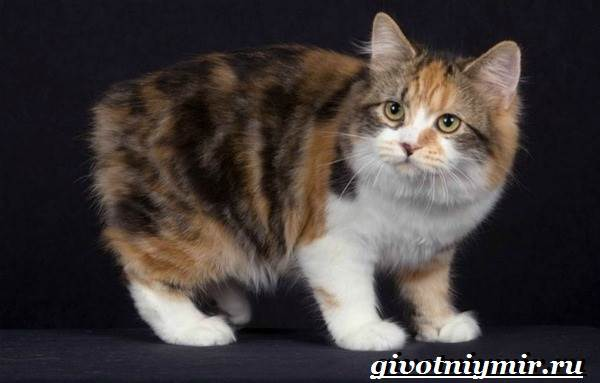 Кимрик-кошка-Описание-особенности-цена-и-уход-за-породой-кимрик-1