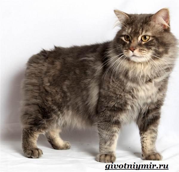 Кимрик-кошка-Описание-особенности-цена-и-уход-за-породой-кимрик-2