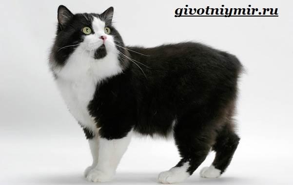 Кимрик-кошка-Описание-особенности-цена-и-уход-за-породой-кимрик-3