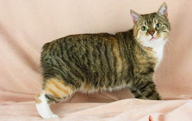 Кимрик-кошка-Описание-особенности-цена-и-уход-за-породой-кимрик-4