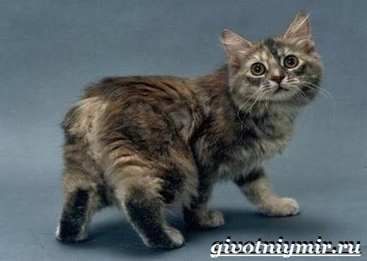 Кимрик-кошка-Описание-особенности-цена-и-уход-за-породой-кимрик-5