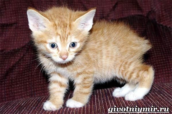 Кимрик-кошка-Описание-особенности-цена-и-уход-за-породой-кимрик-6