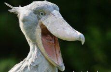 Китоглав птица. Образ жизни и среда обитания птицы китоглав