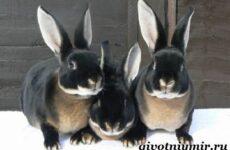 Кролик рекс. Образ жизни и среда обитания кроликов рекс