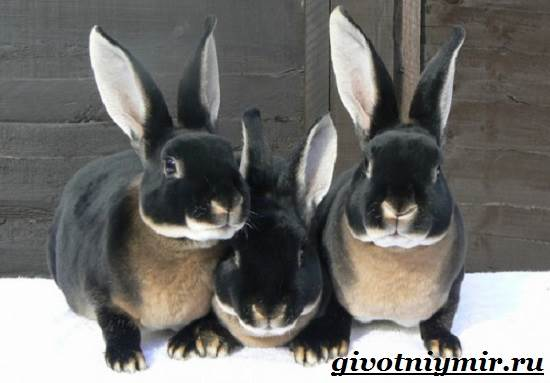 Кролик-рекс-Образ-жизни-и-среда-обитания-кроликов-рекс-1