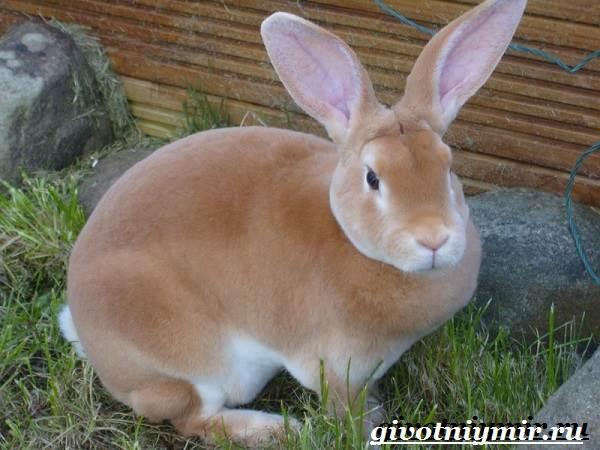 Кролик-рекс-Образ-жизни-и-среда-обитания-кроликов-рекс-2
