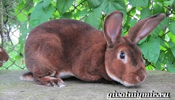 Кролик-рекс-Образ-жизни-и-среда-обитания-кроликов-рекс-3