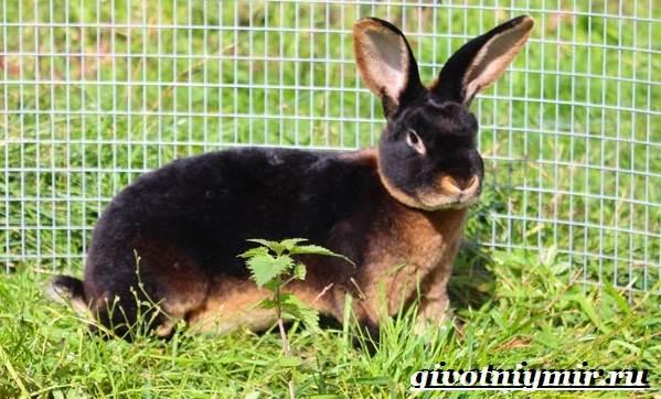 Кролик-рекс-Образ-жизни-и-среда-обитания-кроликов-рекс-7