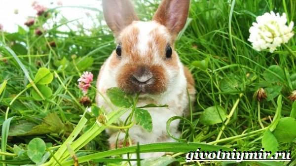 Кролик-рекс-Образ-жизни-и-среда-обитания-кроликов-рекс-8