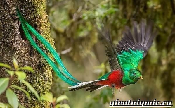 Квезаль-птица-Образ-жизни-и-среда-обитания-птицы-квезаль-2