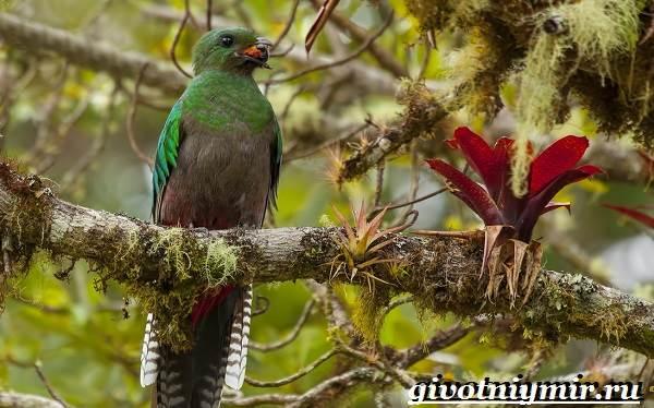 Квезаль-птица-Образ-жизни-и-среда-обитания-птицы-квезаль-3