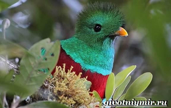 Квезаль-птица-Образ-жизни-и-среда-обитания-птицы-квезаль-4