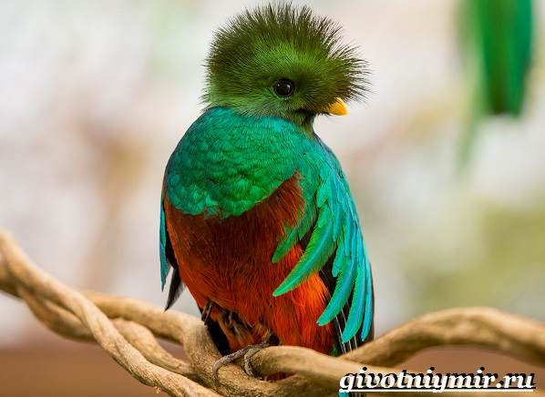 Квезаль-птица-Образ-жизни-и-среда-обитания-птицы-квезаль-5