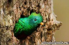 Квезаль птица. Образ жизни и среда обитания птицы квезаль