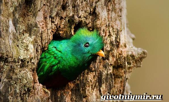 Квезаль-птица-Образ-жизни-и-среда-обитания-птицы-квезаль-6