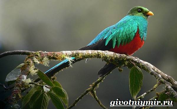 Квезаль-птица-Образ-жизни-и-среда-обитания-птицы-квезаль-7