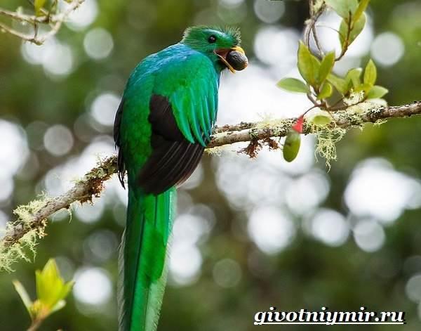 Квезаль-птица-Образ-жизни-и-среда-обитания-птицы-квезаль-8