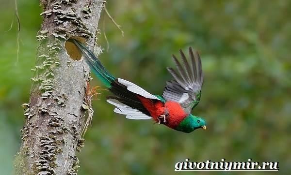 Квезаль-птица-Образ-жизни-и-среда-обитания-птицы-квезаль-9