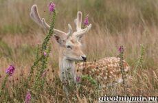 Лань животное. Образ жизни и среда обитания лани