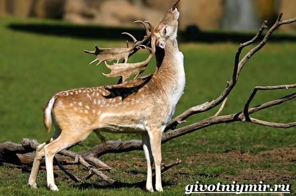 Лань-животное-Образ-жизни-и-среда-обитания-лани-2