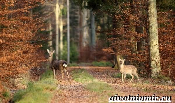 Лань-животное-Образ-жизни-и-среда-обитания-лани-3