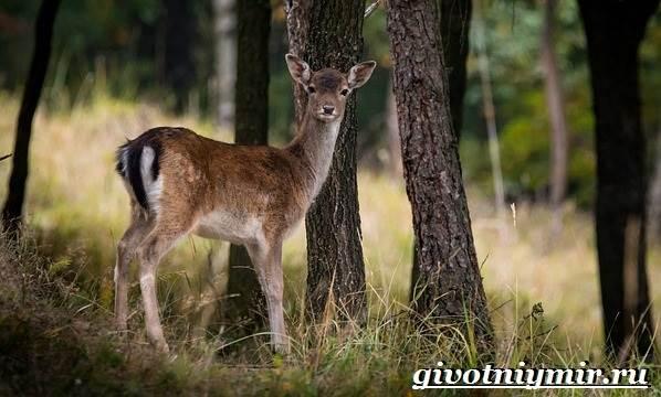 Лань-животное-Образ-жизни-и-среда-обитания-лани-4