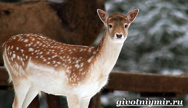Лань-животное-Образ-жизни-и-среда-обитания-лани-5
