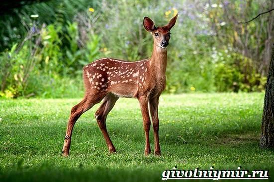 Лань-животное-Образ-жизни-и-среда-обитания-лани-6