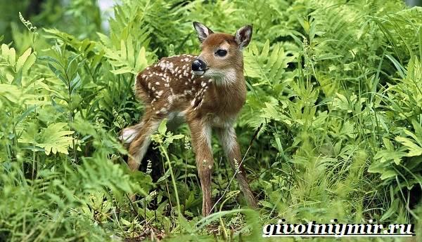 Лань-животное-Образ-жизни-и-среда-обитания-лани-7