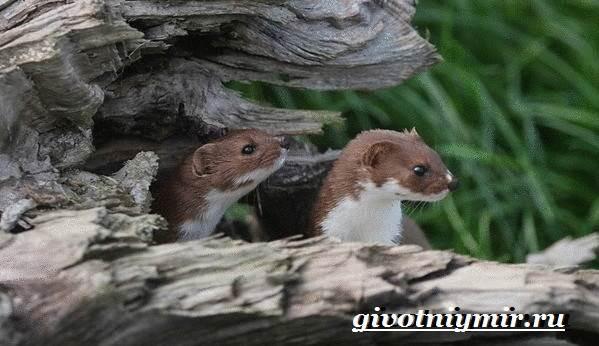 Ласка-животное-Образ-жизни-и-среда-обитания-ласки-3